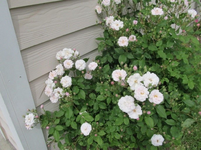Noisette Rose Plant