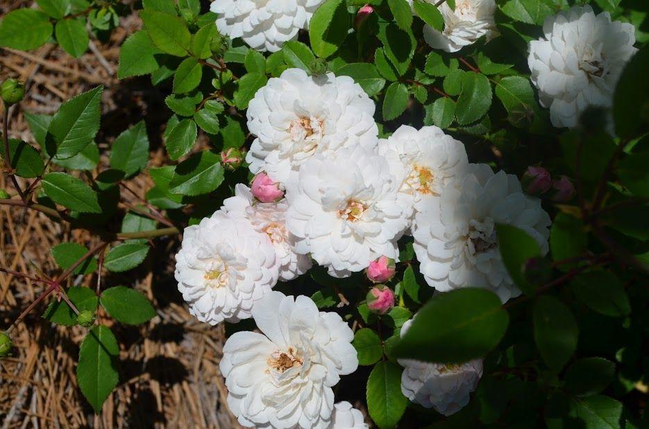 white polyantha